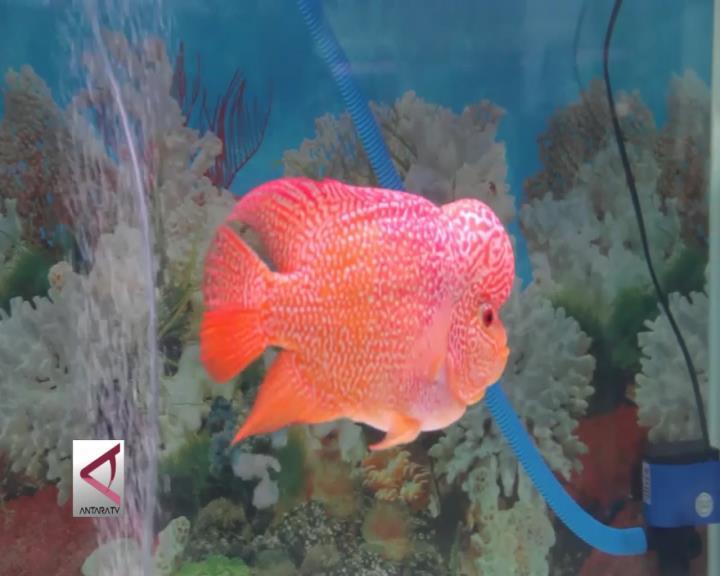 Ratusan Ikan Louhan Berkompetesi di Semarang
