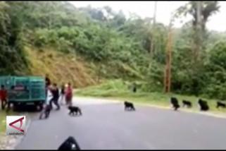 BKSDA buru pencuri Kera Hitam Sulawesi