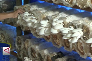 Budidaya jamur tiram yang menjanjikan