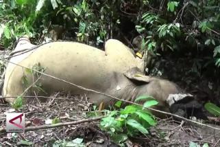 Gajah milik CRU Aceh Timur mati tanpa gading