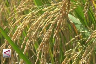 Kemarau tidak pengaruhi produksi padi di Jateng