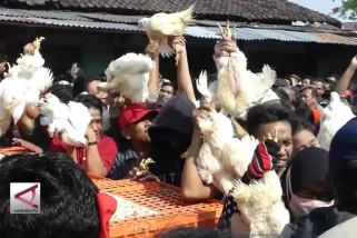 Harga merosot, peternak Jateng bagikan 1.500 ayam gratis