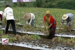 Pemahaman iklim untuk petani bawang putih