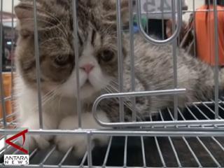 Kontes Kucing Persia Di  Makassar