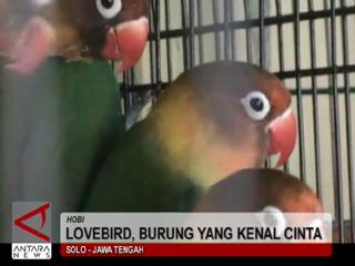 Lovebird, Burung Yang Kenal Cinta