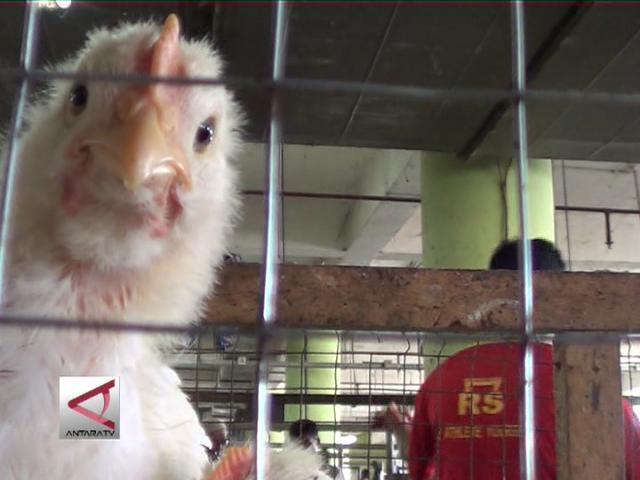 Harga Ayam Potong Tinggi di