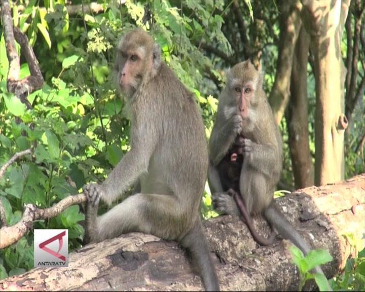 Peneliti Cek Primata Ekor Panjang