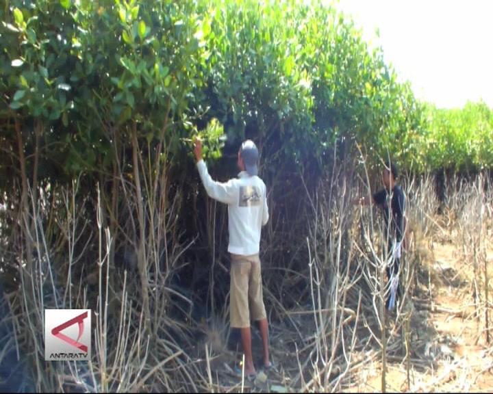 Nelayan Jember Kembangkan Mangrove