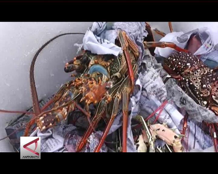 150 Ekor Lobster Sitaan Dilepaskan