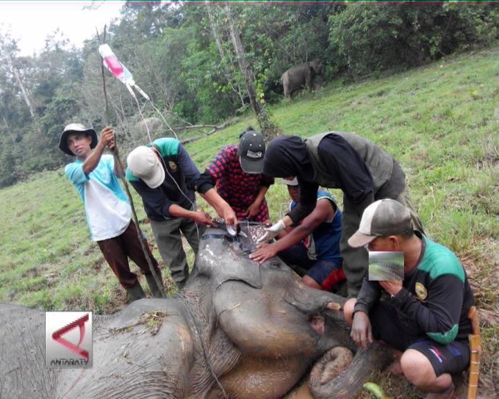 3 Bulan Terakhir 2 Gajah Seblat Mati
