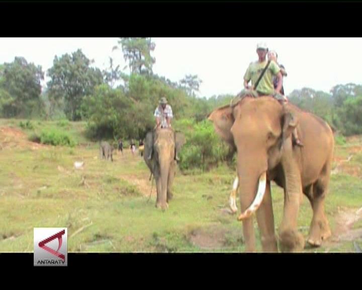 Interaksi Langsung Bersama Gajah Seblat