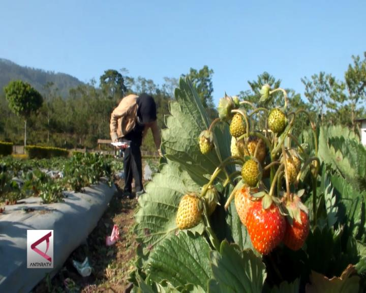 Serunya Berwisata di Kebun Strawberi Bondowoso