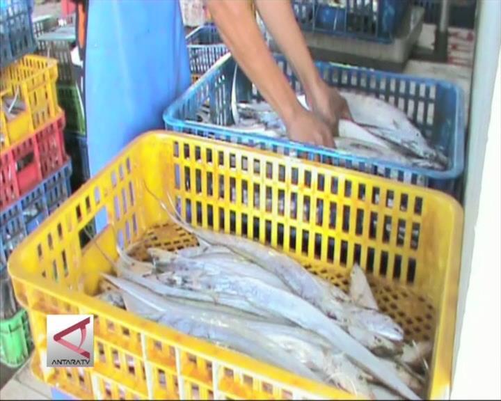 Bengkulu Ekspor 100 Ton Ikan Layur Per Bulan