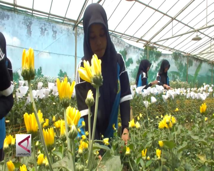Bunga Krisan Tawarkan Peluang Usaha
