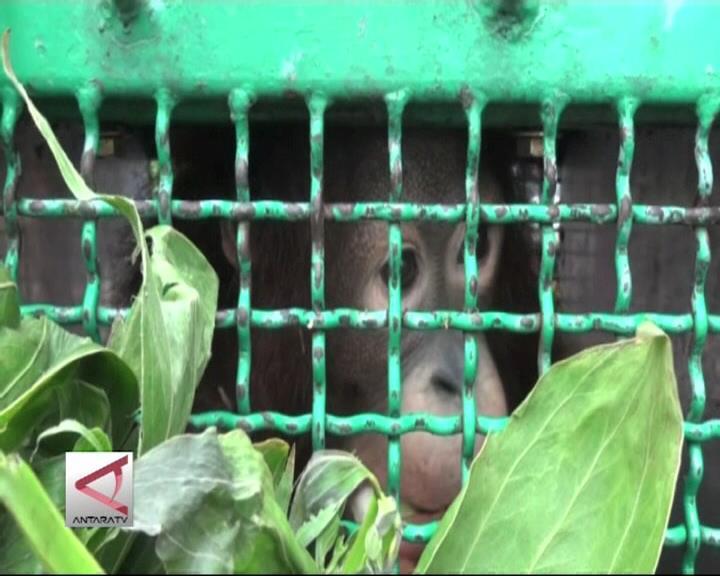 17 Orangutan Dikembalikan ke Kalimantan
