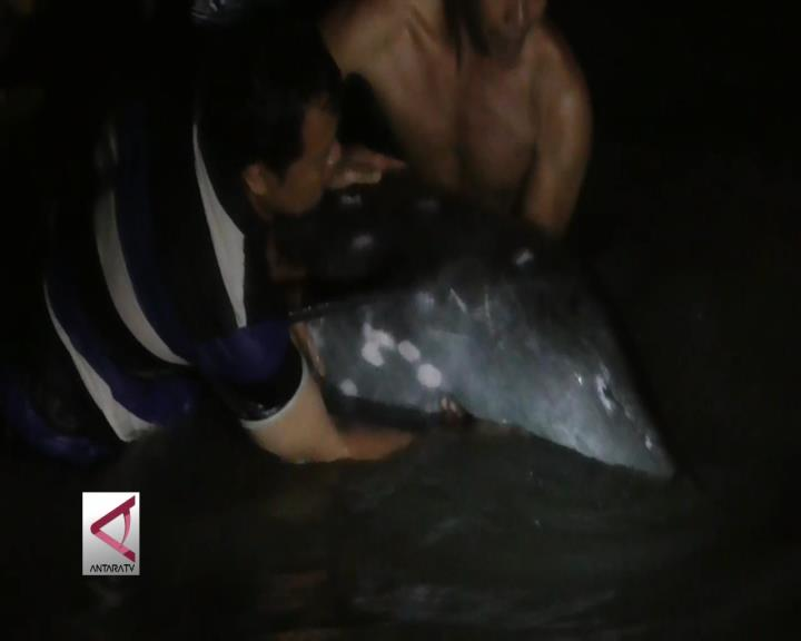 Lumba-Lumba Terdampar di Pantai Surabaya