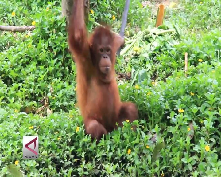 BOSF Kembali Lepas Liarkan 5 Orangutan