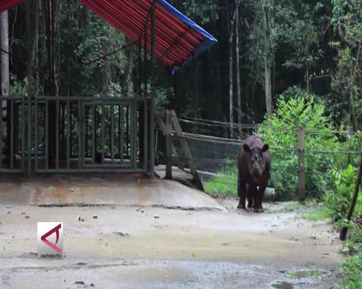 Ada Badak Sumatera di Way Kambas