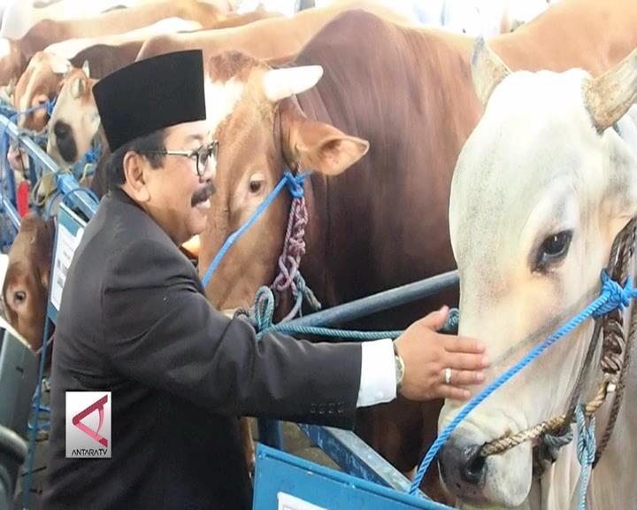 Hewan Kurban Presiden di Surabaya Pemenang Kontes Sapi