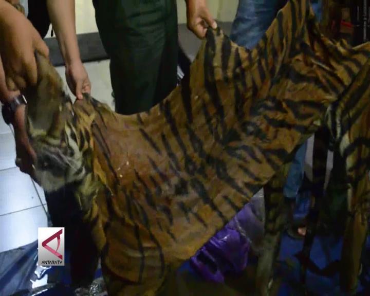 Penjual Kulit Harimau Sumatera Ditangkap