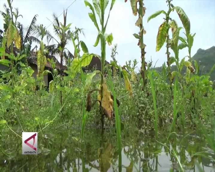 Puluhan Hektare Tembakau di Bantul Rusak