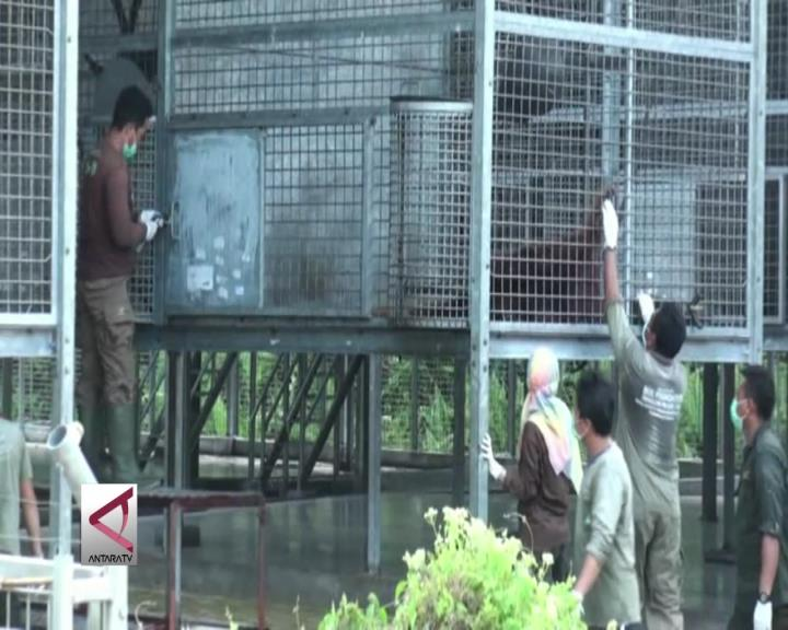 8 Orangutan di Kalteng Dilepasliarkan
