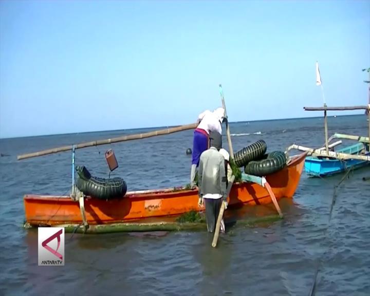 KKP Ganti Bibit Rumput Laut ke Kultur Jaringan