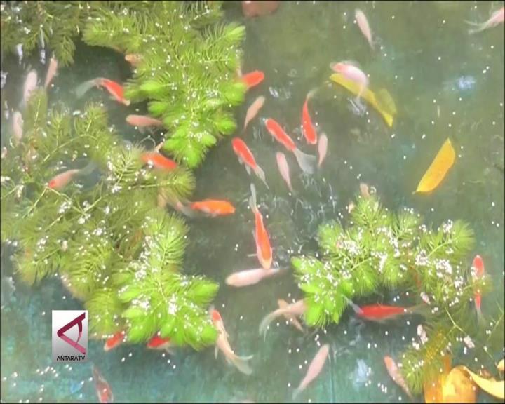 Peluang Budidaya Ikan Hias Menjanjikan
