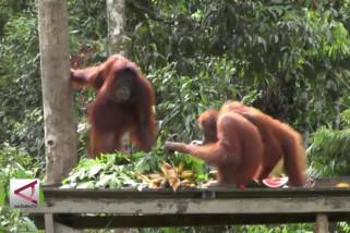 Mengenal Pulau Pelepasliaran Orangutan