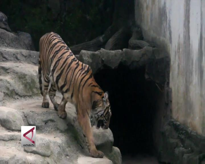 Taman Margasatwa Semarang Tambah 3 Harimau Benggala