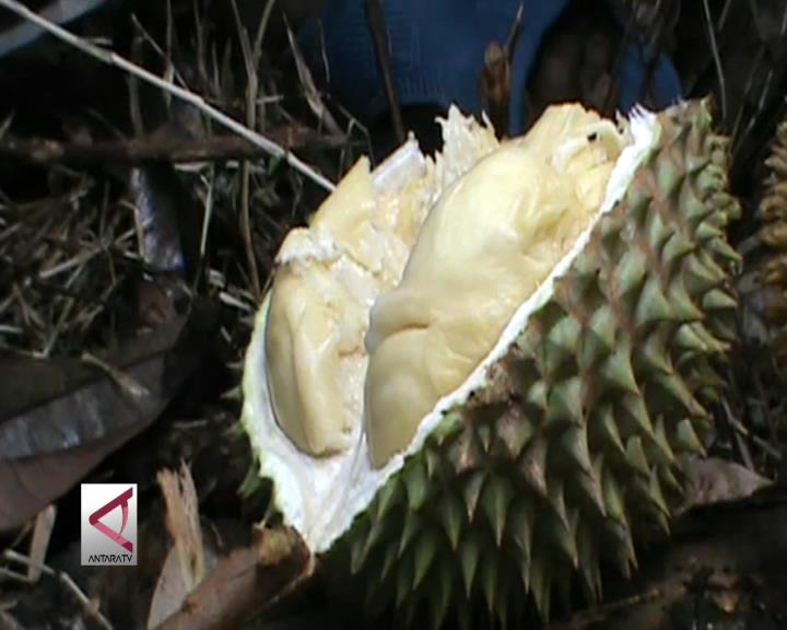 Durian Penyangat, Durian Terbaik Khas Kalsel