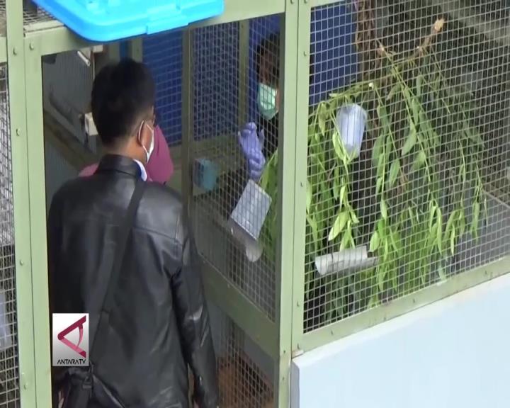 26 Kukang Sitaan Petugas Dikarantina di Bogor
