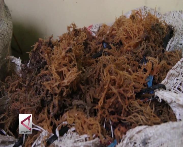 Agar Budidaya Rumput Laut tak Dikuasai Ritel Modern