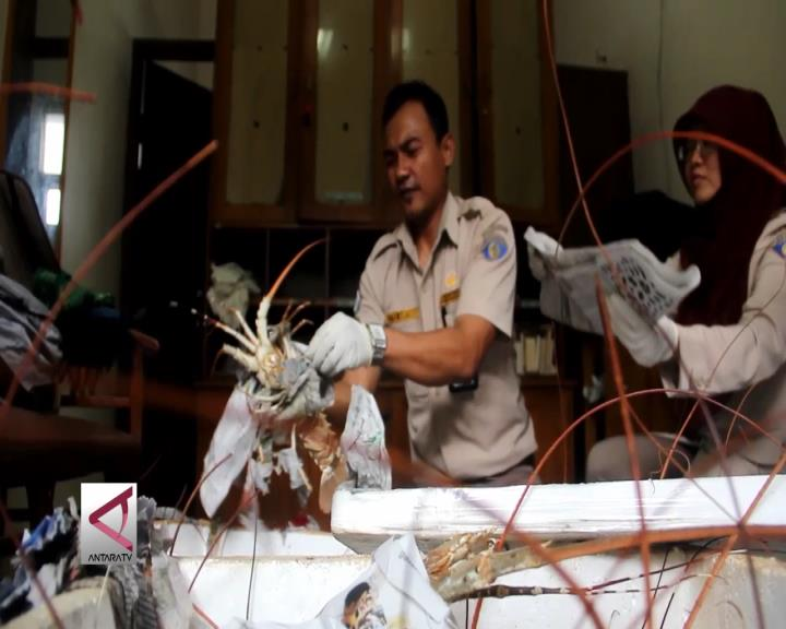 34 Lobster Bertelur Gagal Diperjualbelikan