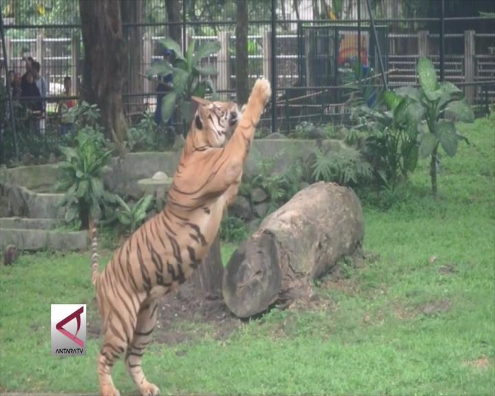 KBS Gelar Pesta Makan Komodo dan Harimau