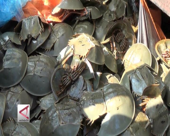 8.000 Belangkas dari Sumsel akan Diselundupkan ke Malaysia