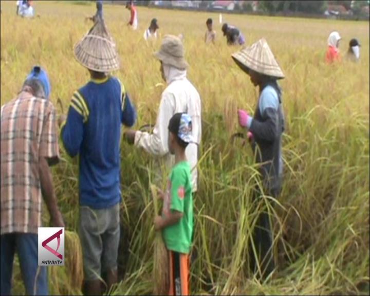 35% Lahan Pertanian Sulsel Berasuransi