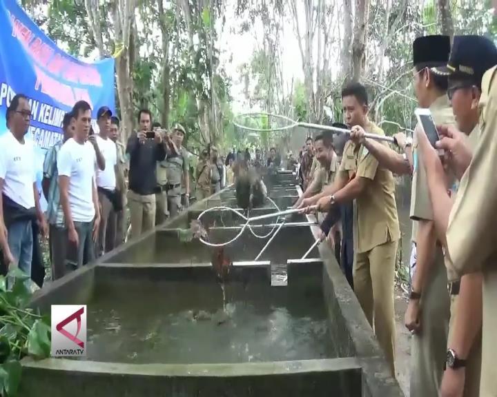 Petambak Bangka Panen Perdana Ikan Sapil