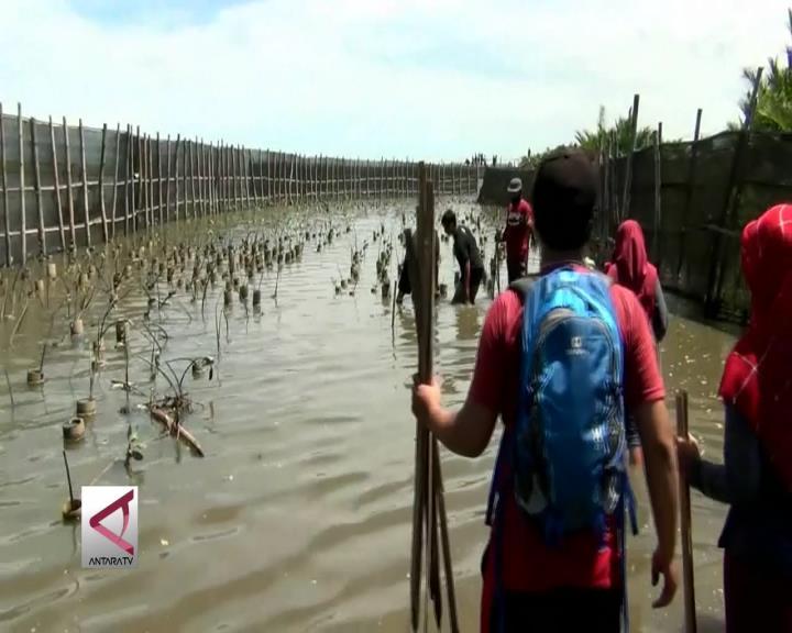 Tanam Bibit Mangrove untuk Jaga Ekosistem Laut