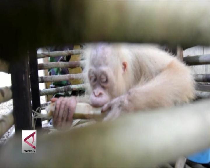 Orangutan Albino Sangat Langka Ditemukan di Kalteng