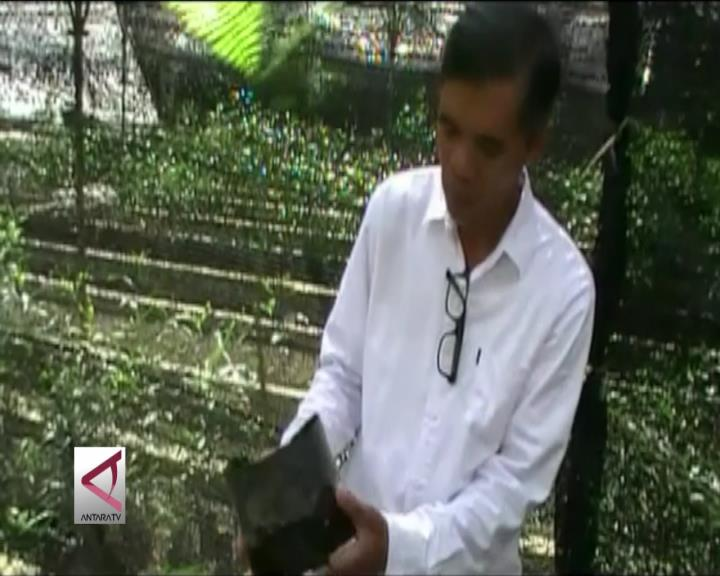 Pengembangbiakan Sengon Antikarat Tumor di Yogyakarta