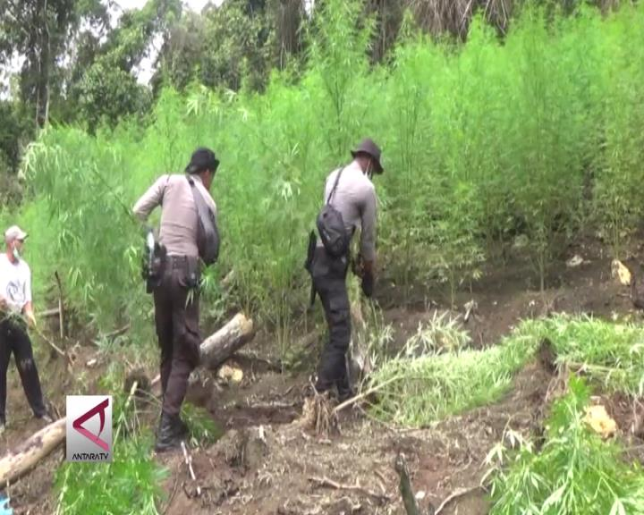 Bareskrim Musnahkan 16 Hektare Ladang Ganja