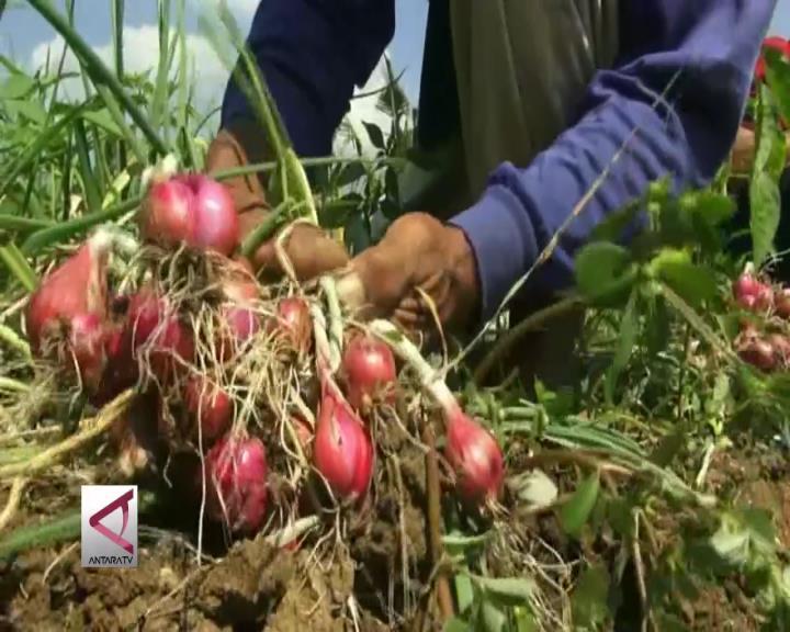 Bibit Unggul Bawang Merah yang Untungkan Petani Bantul