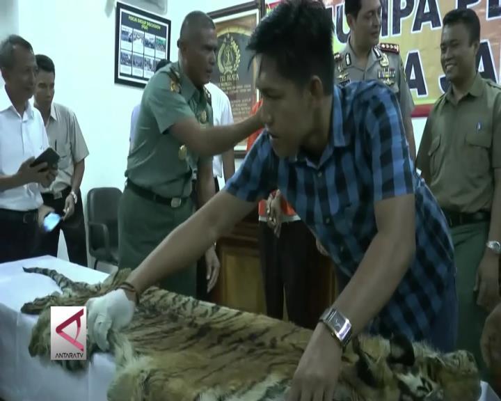 Polda Jambi Bongkar Perdagangan Kulit Harimau