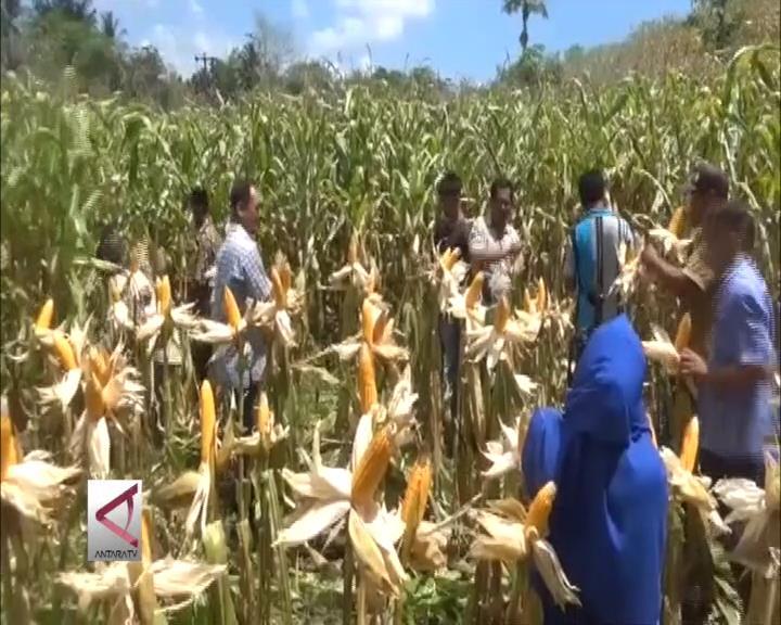 Petani Jagung Kekurangan Alat Mesin Pertanian
