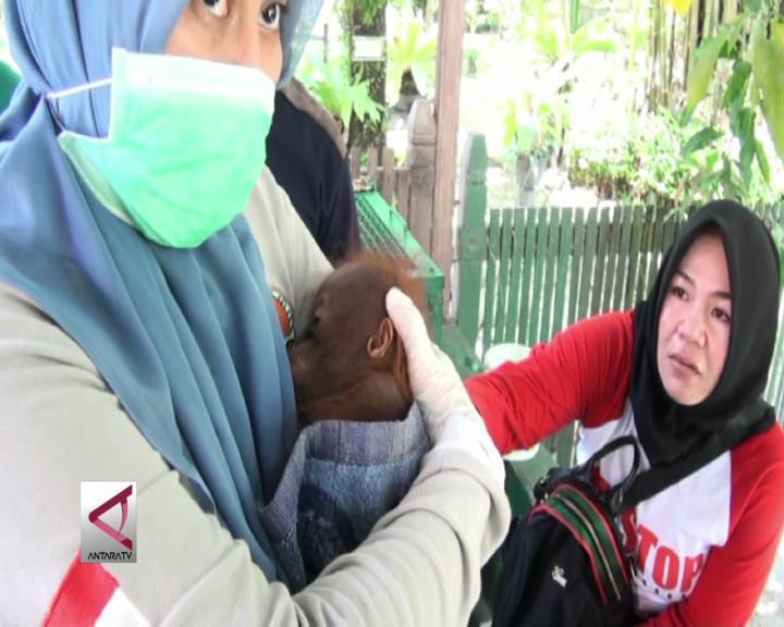 BKSDA Serahkan Bayi Orangutan ke Yayasan BOS