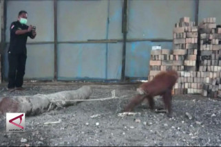 Anak orangutan diselamatkan dari kejaran anjing