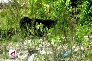 Beruang madu tersesat ke pemukiman