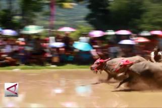 """Tradisi tahunan """"karapan kerbau"""" di Sumbawa"""