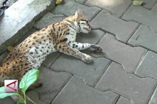 BKSDA terima kucing hutan dari warga